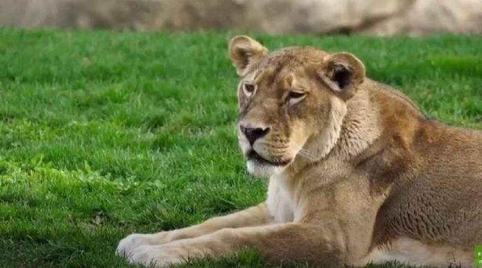 Leona muere en Zoológico por Covid-19, habría más animales infectados